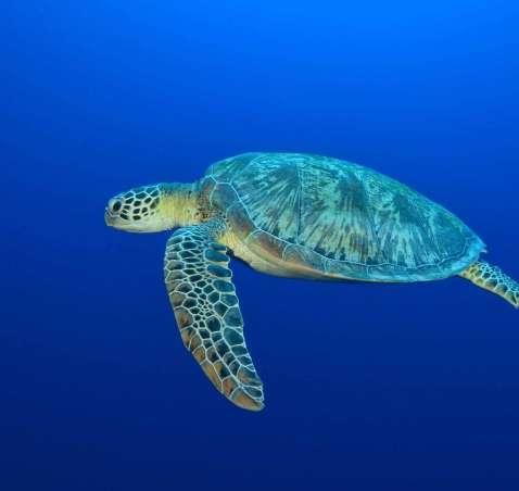 Why healthy oceans need sea turtles
